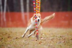 Cão engraçado na agilidade Fotografia de Stock
