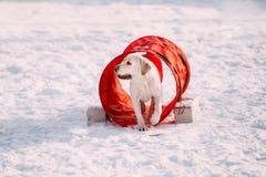 Cão engraçado novo de Labrador que joga na neve, estação do inverno Imagens de Stock