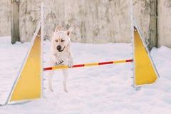 Cão engraçado novo de Labrador que joga na neve, estação do inverno Foto de Stock Royalty Free