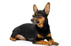 Cão engraçado pequeno Imagens de Stock