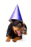 Cão engraçado pequeno! isolado. imagem de stock royalty free