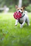 Cão engraçado que corre na grama verde com a bola Imagem de Stock Royalty Free