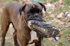 Cão engraçado que mastiga em uma sapata do futebol imagem de stock royalty free