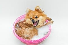Cão engraçado que toma um banho Imagem de Stock Royalty Free