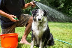 Cão enlameado aproximadamente a ser lavado imagens de stock royalty free