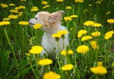Cão ensolarado brilhante nas flores Fotografia de Stock Royalty Free