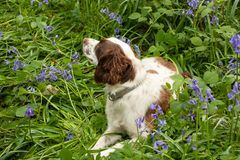 Cão entre campainhas fotos de stock