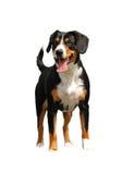 Cão ereto Imagem de Stock