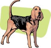 Cão ereto da raça do bloodhound Imagem de Stock