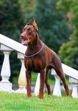 Cão ereto do Doberman Imagens de Stock