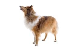 Cão escocês do collie Imagens de Stock Royalty Free