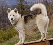 Cão Eskimo Fotografia de Stock
