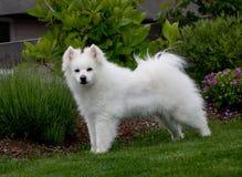 Cão Eskimo branco da raça Foto de Stock Royalty Free