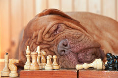 Cão esperto foto de stock royalty free