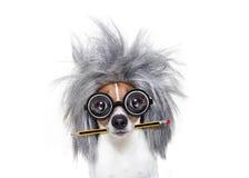 Cão esperto inteligente com lápis fotos de stock