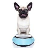 Cão excesso de peso do pug Fotografia de Stock Royalty Free