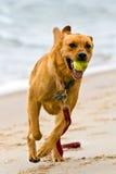 Cão exuberante Imagens de Stock Royalty Free