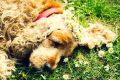 Cão fêmea cansado que dorme no gramado verde fresco com as grinaldas das margaridas fotografia de stock