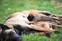Cão fêmea com cachorrinhos Foto de Stock Royalty Free