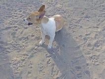 Cão fêmea de Bea Jack Russell imagens de stock
