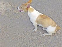 Cão fêmea de Bea Jack Russell foto de stock