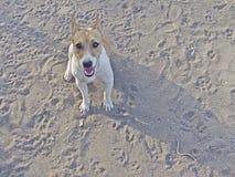 Cão fêmea de Bea Jack Russell fotos de stock