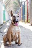 Cão fêmea de bull terrier que senta-se na terra na passagem estreita e que olha a câmera Vestido vestindo do cão do cão Imagens de Stock Royalty Free