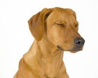 Cão fêmea de Rhodesian Ridgeback, 5 meses velho imagens de stock