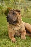 Cão fêmea de Sharpei na grama Imagem de Stock