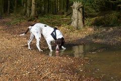 Cão fêmea dinamarquês velho que bebe da poça da água na floresta Fotografia de Stock