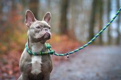 Cão fêmea rajado colorido raro do buldogue francês do lilás com claro - olhos ambarinos e colar entrançado feito a mão e trela imagens de stock
