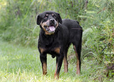 Cão fêmea superior de Rottweiler do alemão Fotografia de Stock Royalty Free