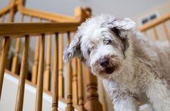 Cão farpado da collie em escadas Imagem de Stock Royalty Free