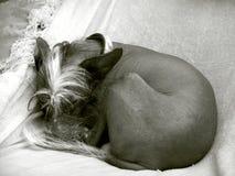 Cão feio Imagens de Stock Royalty Free