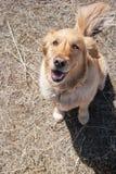 Cão feliz Imagens de Stock
