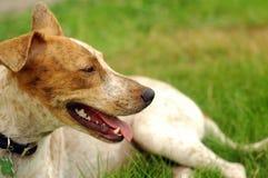 Cão feliz Fotos de Stock Royalty Free