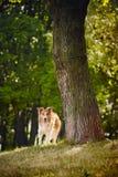 Cão feliz Foto de Stock Royalty Free