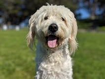 Cão feliz bonito da ânsia com a língua que olham para fora oblíqua com grama e as árvores borradas e o céu azul no fundo imagens de stock royalty free