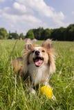 Cão feliz com esfera Imagem de Stock