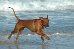 Cão feliz da praia Fotos de Stock Royalty Free
