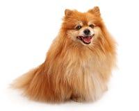 Cão feliz de Pomeranian imagem de stock royalty free