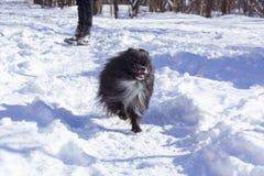 Cão feliz de Pomeranian Cão pomeranian do inverno Cão pomeranian preto imagens de stock royalty free