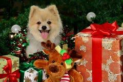 Cão feliz de Pomeranian entre presentes do Natal Foto de Stock