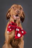 Cão feliz de Vizsla Fotos de Stock Royalty Free
