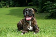 Cão feliz do pugilista que descansa na grama Fotos de Stock