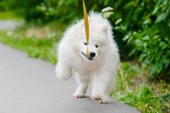 Cão feliz do Samoyed, branco e macio para fora para uma caminhada fotos de stock royalty free