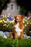 Cão feliz do Toller do retriever dourado nas cores Fotografia de Stock