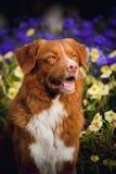 Cão feliz do Toller do retriever dourado nas cores Fotos de Stock Royalty Free