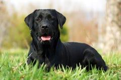 Cão feliz Labrador Retiever Fotos de Stock Royalty Free