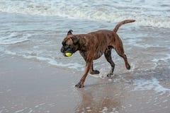 Cão feliz na costa de mar Fotos de Stock Royalty Free